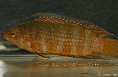 Microctenopoma ansorgii (Villebon sur Yvette, expo CIL lors du congrès AFC 2009)
