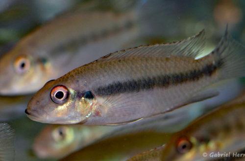 Wallaceochromis humilis (Villebon sur Yvette, congrès AFC 2009)