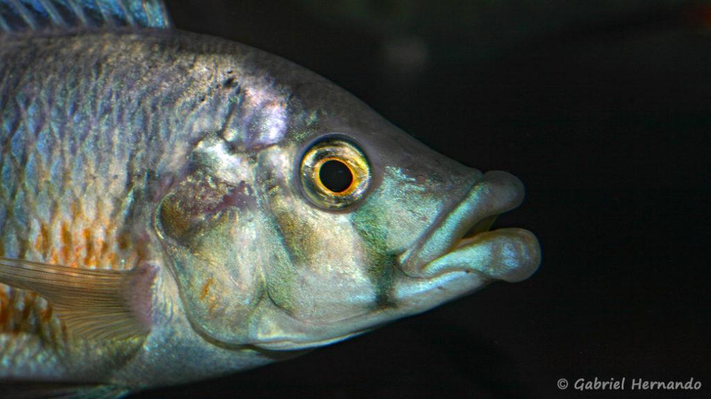 Haplochromis chilotes (Le Mans, octobre 2009, réunion AFC)