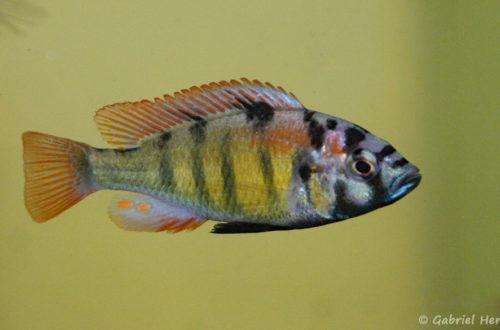 Haplochromis ishmaeli (Aquabeek, mars 2011)