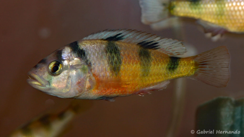 Haplochromis latifasciatus (Nancy, octobre 2008, congrès AFC)