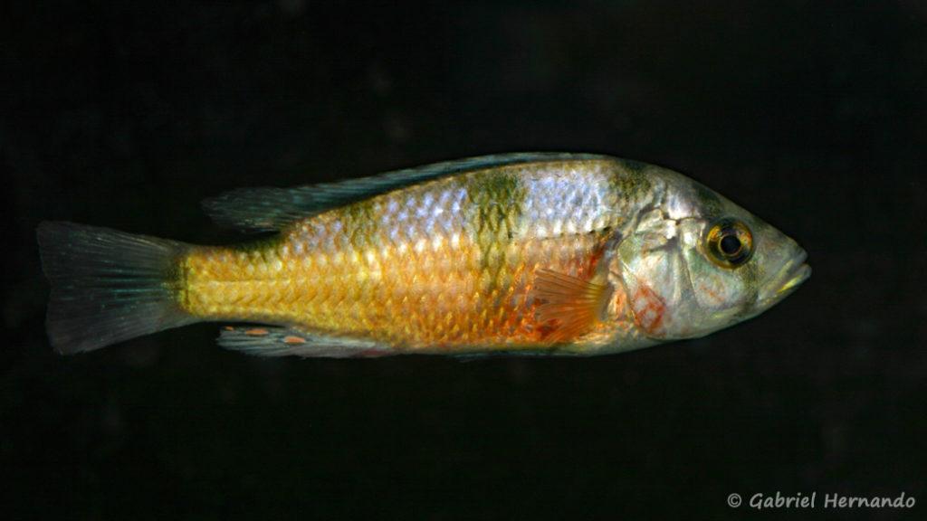 Haplochromis latifasciatus (Le Mans, octobre 2009, réunion AFC)