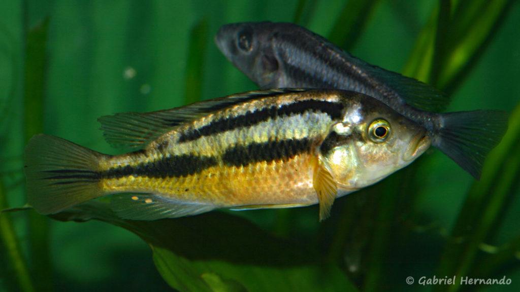 Haplochromis sauvagei, variété de Makobe Island (Villebon sur Yvette, congrès AFC 2009)