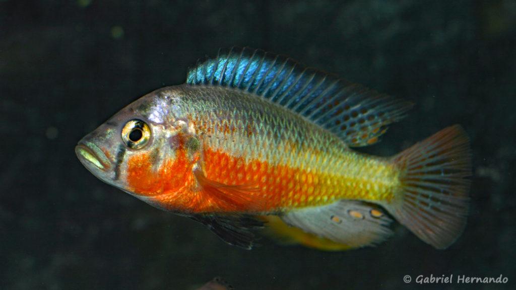 Haplochromis sauvagei, variété de Mwanza North (Le Mans, réunion AFC en octobre 2009)