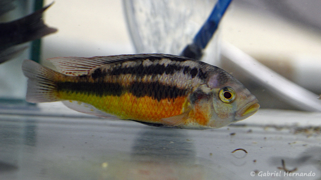 Haplochromis sauvagei, variété de Makobe Island, Tanzanie (Montereau-Fault-Yonne, congrès AFC 2019)