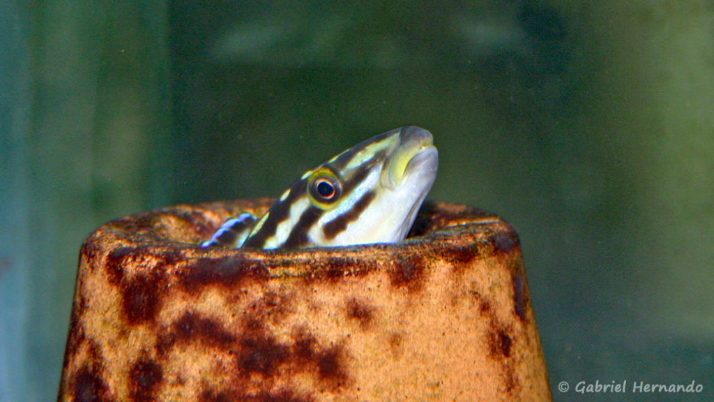 Julidochromis marksmithi (Club aquariophile de Vernon, juin 2004)