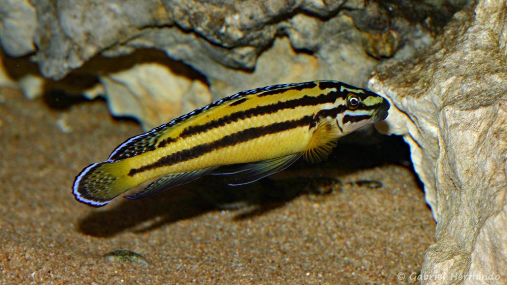Julidochromis marksmithi (Club aquariophile de Vernon, avril 2008)