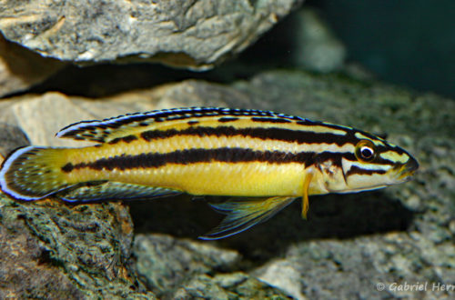 Julidochromis marksmithi (Club aquariophile de Vernon, janvier 2008)