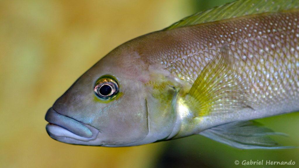 Lepidiolamprologus cunningtoni (chez Gilles Garrier, août 2009)