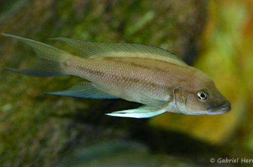Neolamprologus longicaudatus, variété de Ubwari (chez Gilles Garrier, août 2009)