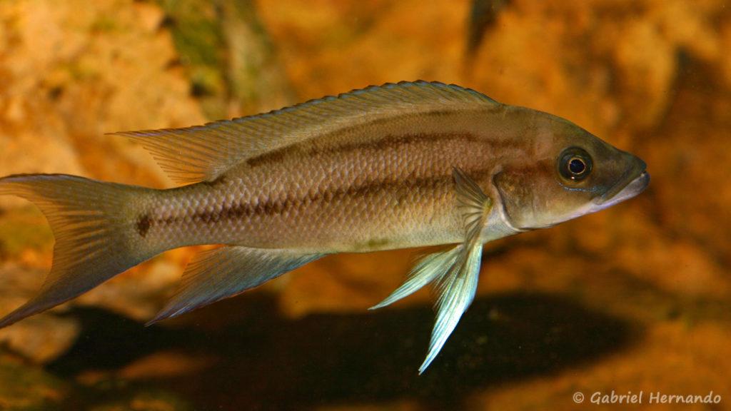 Neolamprologus longicaudatus, variété de Ubwari (chez Vincent Chamayou, septembre 2009)