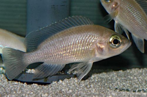 Neolamprologus toae, variét00é de Kigoma (Abysse, mars 2010)