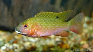 Coptodon snyderae (Club aquariophile de Vernon, janvier 2005)