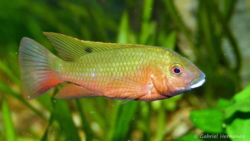 Tilapia snyderae (Club aquariophile de Vernon, janvier 2005)