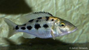 Fossorochromis rostratus, femelle