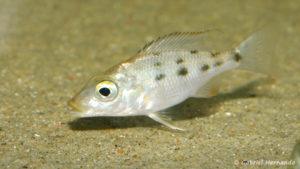 Fossorochromis rostratus, juvénile