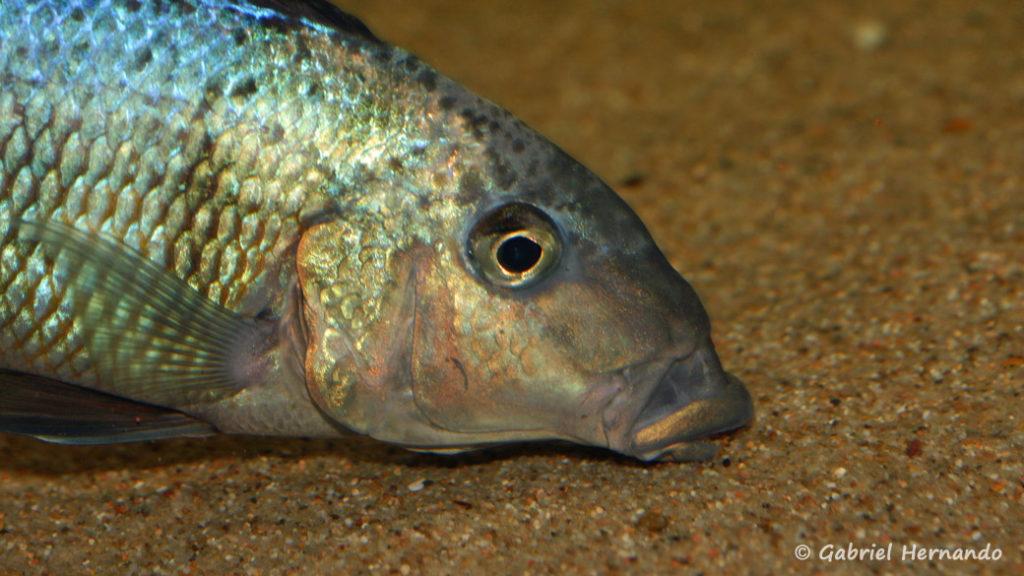 Fossorochromis rostratus, mâle