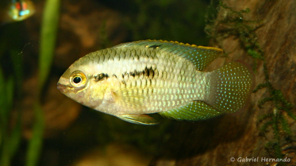 Laetacara dorsigera (Club aquariophile de Rouen, avril 2005)
