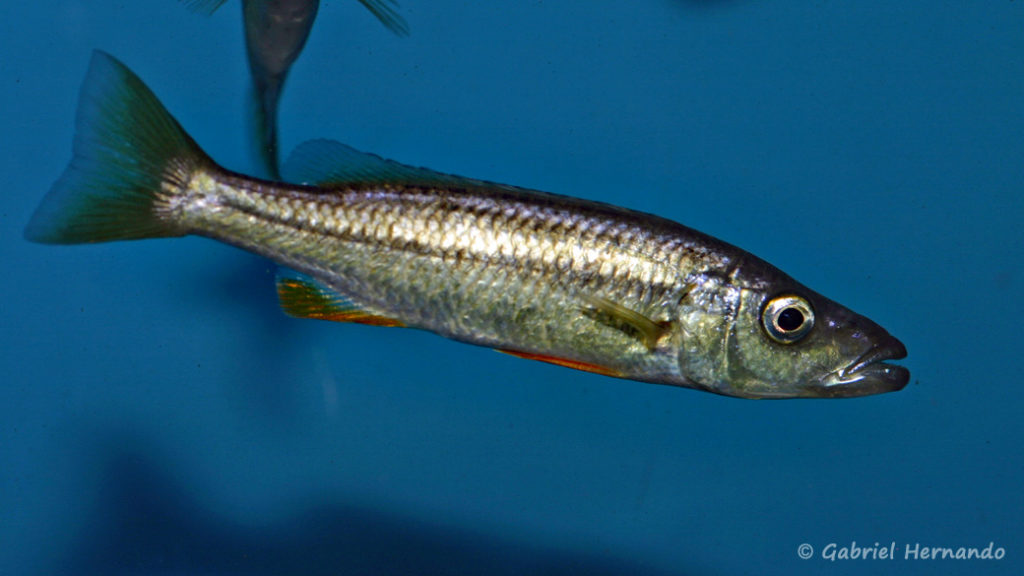 "Ramphochromis sp. ""Chilingali"" (Aqua Treff, mars 2009)"