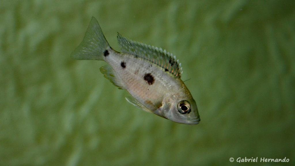 Copadichromis parvus, jeune mâle (Club aquariophile de Vernon, octobre 2007)