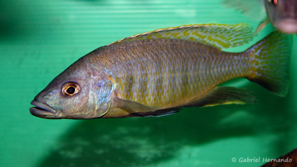 Sciaenochromis gracilis (Abysse, février 2005)