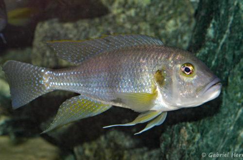 Limnochromis staneri (Abysse, mars 2010)