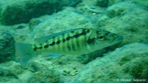 Lichnochromis acuticeps, in situ à Mara Rock