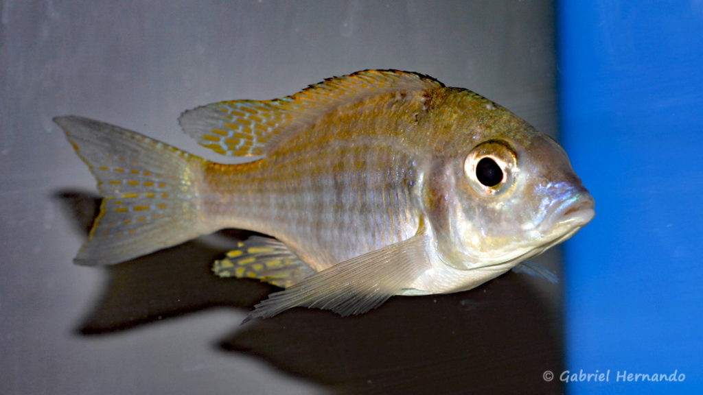 Aulonocara brevinidus (Abysse, mars 2008)