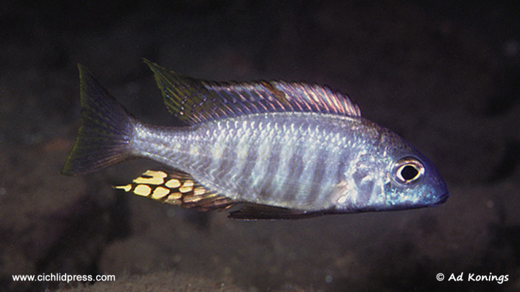 Aulonocara brevinidus, variété de Nkhomo Reef, photographiée in-situ par Ad Konings