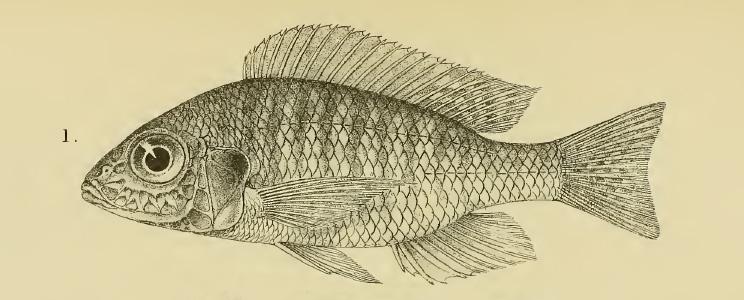 Aulonocara nyassae, holotype (BMNH 1921.9.6:220). tiré de Regan, 1922 (planche V, fig. 1)