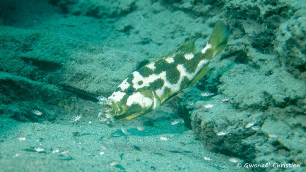 Nimbochromis livingstonii, femelle in site, reprenant ses jeunes en bouche pour les protéger