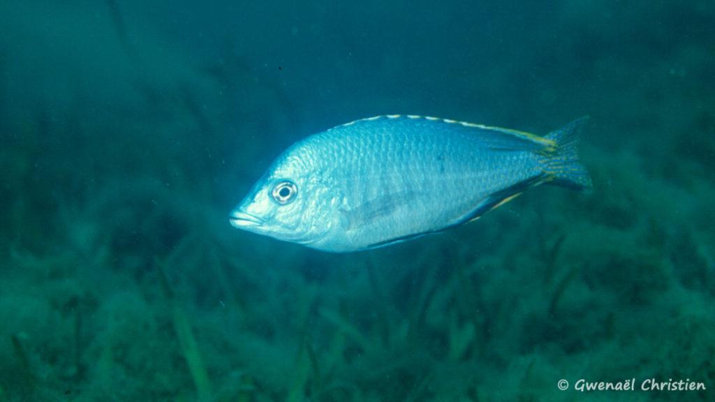 Hemitilapia oxyrhyncha, in situ à Mumbo Island