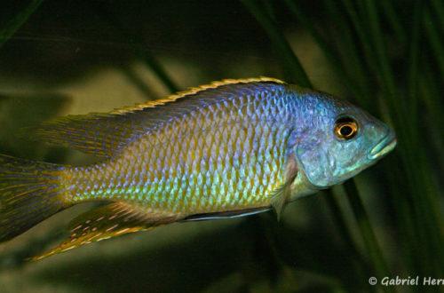 Hemitilapia oxyrhyncha, mâle