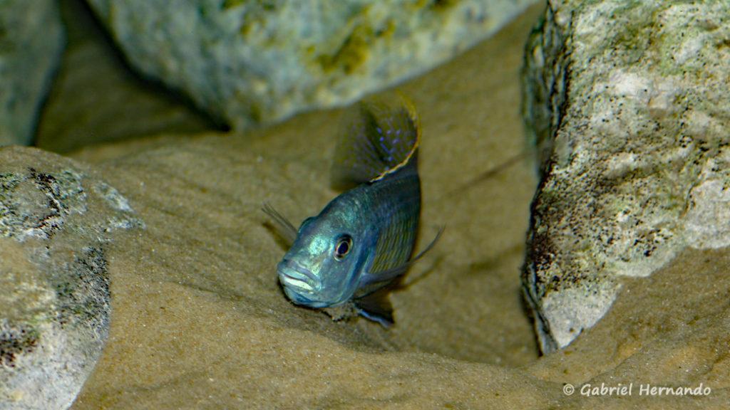 Hemitilapia oxyrhyncha, mâle préparant un site de ponte