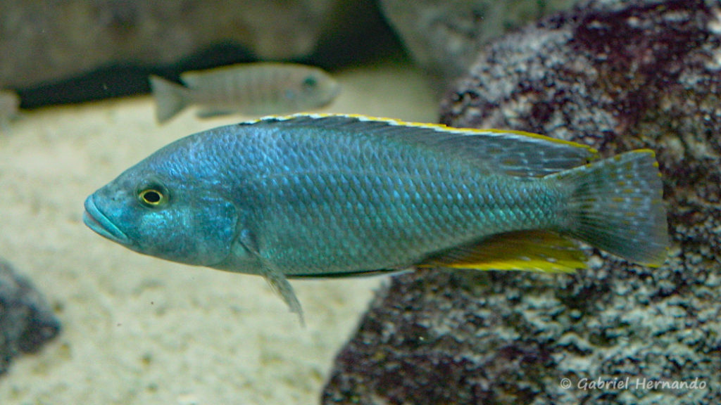 Nimbochromis livingstonii (Club aquariophile de Vernon, juillet 2007)
