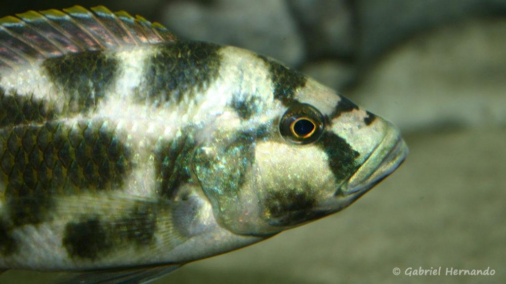 Nimbochromis livingstonii (Club aquariophile de Vernon, juin 2004)