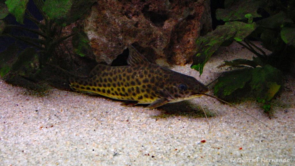 Synodontis njassae (petit aquarium de Saint Malo, novembre 2002)