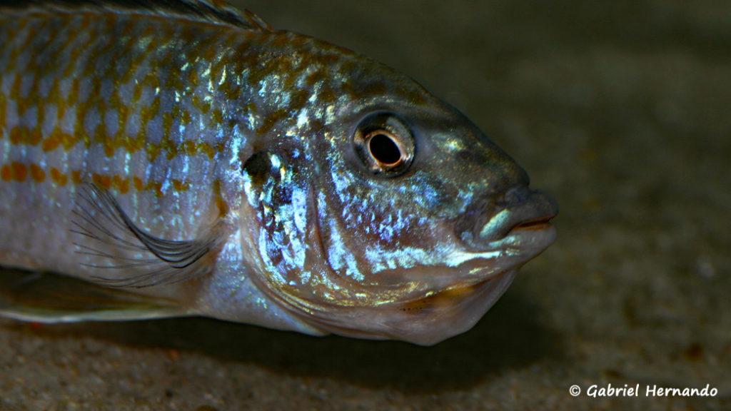 Labidochromis joanjohnsonae, femelle incubant ses oeufs (Club aquariophile de Vernon, janvier 2008)