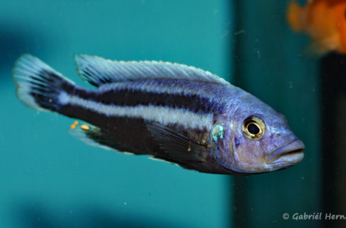 Melanochromis chipokae (Aqua Treff, mars 2009)