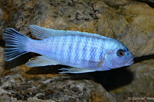 Maylandia mossambica (Club aquariophile de Vernon, janvier 2008)