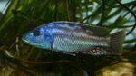 Nimbochromis fuscotaeniatus mâle (AquaMassena Paris, novembre 2007)