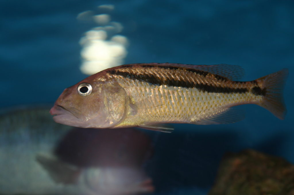 Femelle Aristochromis christyi (Aquabeek - mars 2011)