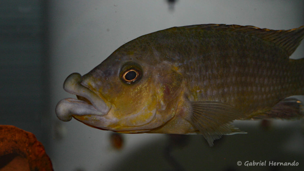 Abactochromis labrosus, spécimen de Tanzanie (Abysse – octobre 2010)