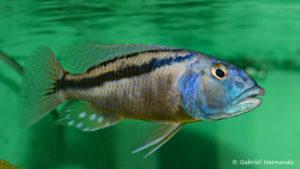 Mâle Aristochromis christyi (Abysse - mars 2008)