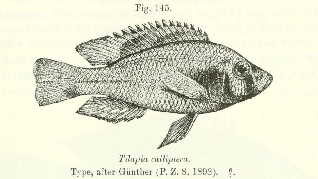 Astatotilapia caliptera, gravure tirée de Boulenger, G.A. 1915, page 223