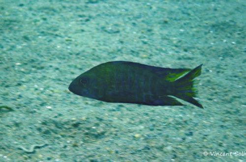 Aulonocara ethelwynae, in situ à Chitande Island