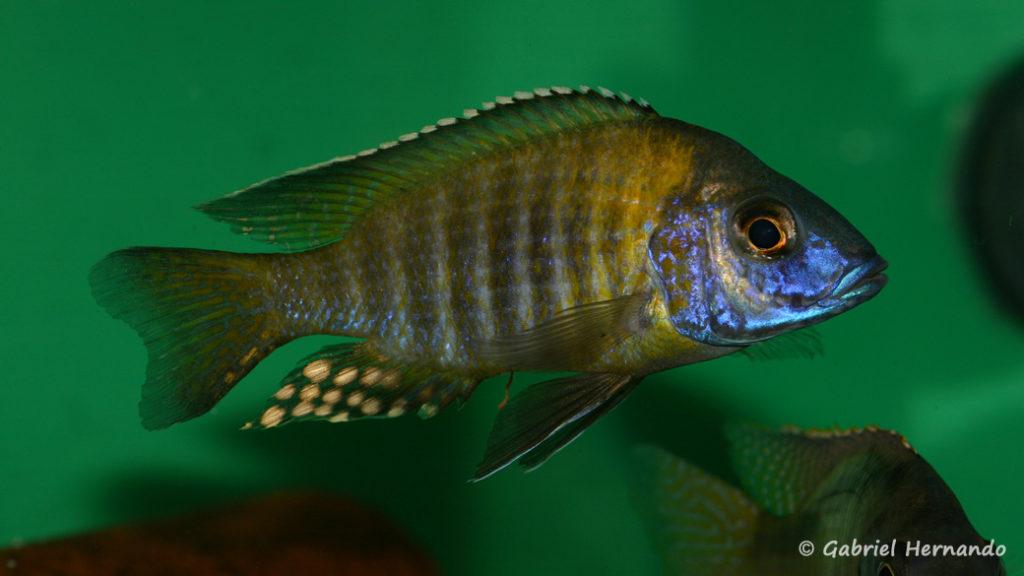 Aulonocara gertrudae variété de Lupingu (Abysse, janvier 2009)
