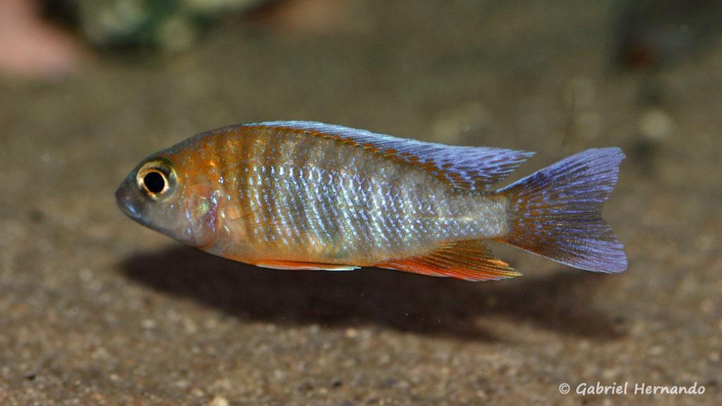 Aulonocara jacobfreibergi , variété de Cape Mac Clear (Aqua Treff, mars 2011)