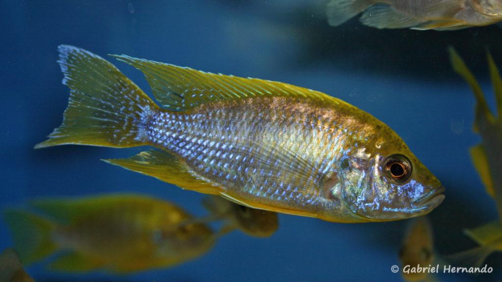 Aulonocara jacobfreibergi , variété de Undu Reef (Abysse, mars 2008)