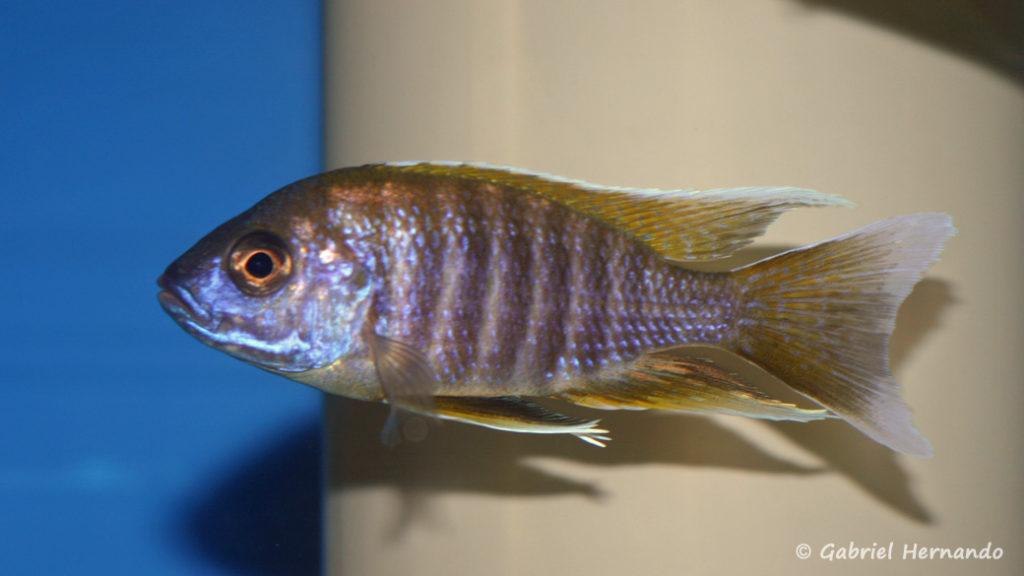 Aulonocara jacobfreibergi , variété de Chirwa (Abysse, avril 2009)